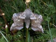 Laothoe populi (Pappelschwärmer) / SPHINGIDAE (Schwärmer)