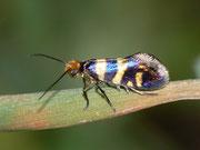 Micropteryx allionella / MICROPTERIGIDAE (Urmotten)