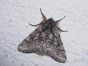 Lycia hirtaria (Schwarzfühler-Dickleibspanner) / NOCTUIDAE (Eulen)