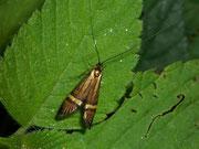 Adelidae (Langhornmotten)