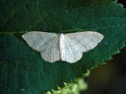 Idaea straminata / GEOMETRIDAE/Sterrhinae (Spanner)