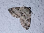 Perizoma blandiata