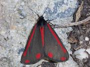 Tyria jacobeae (Jakobskrautbär) / ARCTIIDAE/Arctiinae (Bärenspinner)
