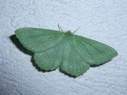 Geometra papilionaria (Grünes Blatt) / GEOMETRIDAE Geometrinae