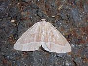 Hylaea fasciaria