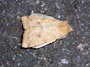 Enargia paleacea (Gelbe Blatteule) / NOCTUIDAE (Eulen)