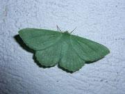 Geometra papilionaria (Grünes Blatt) / GEOMETRIDAE/Geometrinae (Spanner)