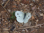 Pieris rapae (Kleiner Kohlweissling, Weibchen) / PIERIDAE/Pierinae (Weisslinge)