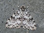 Lymantria monacha (Nonne) / LYMANTRIIDAE (Trägspinner)