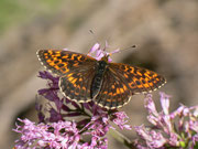 Boloria thore Boloria thore (Bergwald-Perlmuttfalter) NYMPHALIDAE/Heliconiinae (Edelfalter)