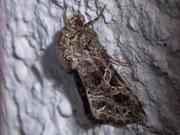Sideridis rivularis (Violettbraune Kapseleule) / NOCTUIDAE (Eulen)