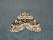 Nothocasis certata (Ahorn-Blattspanner) / GEOMETRIDAE/Larentiinae (Spanner)