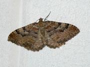 Hydria (Rheumaptera) cervinalis (Grosser Berberitzenspanner) / GEOMETRIDAE/Larentiinae (Spanner)