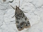 Eudonia lacustrata / CRAMBIDAE/Scopariinae (Zünsler)