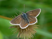 Polyommatus icarus (w)