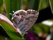 Cacyreus marshalli (Pelargonienbläuling) / LYCAENIDAE/Polyommatini (Bläulinge)