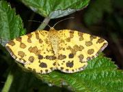 Pseudopanthera macularia (Fleckenspanner/Pantherspanner) / GEOMETRIDAE/Ennominae (Spanner)