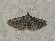 Alucitidae (Federgeistchen)