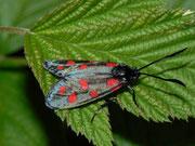 Zygaena filipendulae (Sechsfleck-Widderchen) / ZYGAENIDAE (Widderchen, Blutströpfchen)
