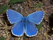 Polyommatus bellargus (Himmelblauer Bläuling, Männchen) / LYCAENIDAE/Polyommatini (Bläulinge)
