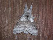 Calliteara pudibunda (Buchen-Streckfuss, Männchen) / LYMANTRIIDAE (Trägspinner)