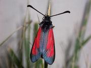 Zygaena purpuralis (Thymian-Widderchen) / ZYGAENIDAE (Widderchen, Blutströpfchen)