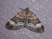 Xanthorhoe biriviata (Springkraut-Blattspanner) / GEOMETRIDAE/Larentiinae (Spanner)
