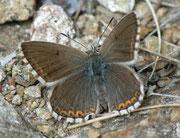 Polyommatus coridon (w)