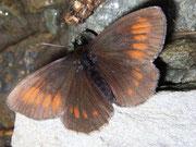 Erebia manto (Gelbgefleckter Mohrenfalter) / NYMPHALIDAE/Tr. Erebiini (Edelfalter)
