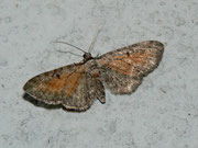 Eupithecia icterata (Schafgarben-Blütenspanner) / GEOMETRIDAE/Larentiinae (Spanner)