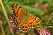 Lasiommata megera (Mauerfuchs)  / NYMPHALIDAE/Satyrinae (Edelfalter)