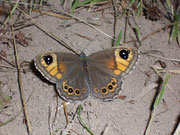 Lasiommata maera (Braunauge, Weibchen) / NYMPHALIDAE/Satyrinae (Edelfalter)