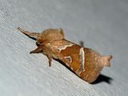 Hepialidae (Wurzelbohrer)