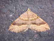 Scotopteryx chenopodiata (Braunbinden-Wellenstriemenspanner) / GEOMETRIDAE/Larentiinae (Spanner)