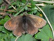 Erebia tyndarus (Schillernder Mohrenfalter, Weibchen)  / NYMPHALIDAE/Tr. Erebiini (Edelfalter)