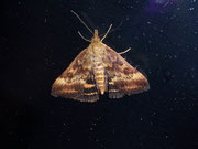Pyrausta despicata (Olivbrauner Zünsler) / CRAMBIDAE/Pyraustinae(Zünsler)