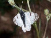 Euchloe belemia / PIERIDAE/Pierinae (Weisslinge)