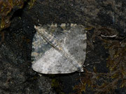 Entephria nobiliaria / GEOMETRIDAE/Larentiinae (Spanner)