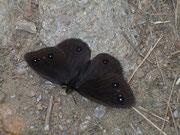 Satyrus ferula (Südlicher Waldportier, Männchen) / NYMPHALIDAE/Satyrinae (Edelfalter)