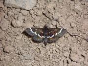 Pyrausta nigrata / CRAMBIDAE/Pyraustinae(Zünsler)