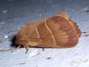 Macrothylacia rubi (Brombeerspinner) / LASIOCAMPIDAE (Glucken)