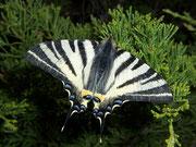Iphiclides podalirius (Segelfalter) / PAPILIONIDAE/Papilioninae (Ritterfalter)