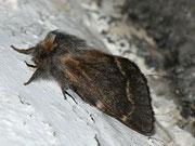 Poecilocampa alpina (Alpiner Wollspinner, Weibchen) / LASIOCAMPIDAE (Glucken)