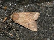Mythimna conigera (Weissfleck-Graseule) / NOCTUIDAE (Eulen)