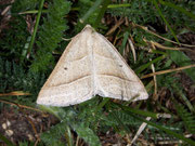 Petrophora chlorosata (Moorwald-Adlerfarnspanner) / GEOMETRIDAE/Ennominae (Spanner)