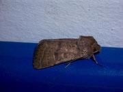 Hoplodrina ambigua (Hellbraune Staubeule) / NOCTUIDAE (Eulen)