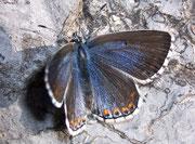 Polyommatus bellargus (Himmelblauer Bläuling, Weibchen) / LYCAENIDAE/Polyommatini (Bläulinge)