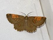 Angerona prunaria (Schlehenspanner) / GEOMETRIDAE/Ennominae (Spanner)