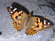 Vanessa cardui (Distelfalter) / NYMPHALIDAE/Nymphalinae (Edlefalter)