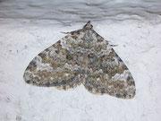 Coenotephria salicata (Kleiner Felsen-Bindenspanner) / GEOMETRIDAE/Larentiinae (Spanner)